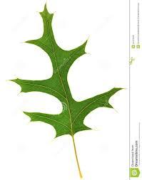 White Oak Leaf Pin Oak Leaf Quercus Palustris Royalty Free Stock Photos Image