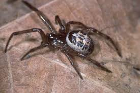 Black Widow Spiders Had A - false widow spiders british arachnological society