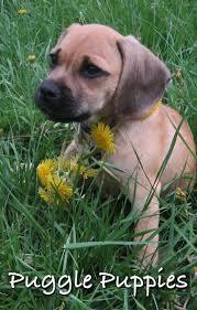 belgian shepherd gumtree best 25 beagle temperament ideas only on pinterest beagle