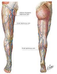 Nerves In The Knee Anatomy About Vein Disease Alaska Vein Clinic