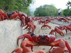 red crab migration christmas island off the beaten path