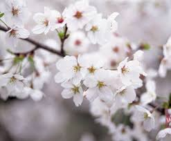 Wholesale Flowers Near Me Today I Am Grateful For The White Cherry Blossom Tree Outside My