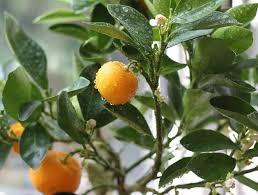 information on growing calamondin trees u2013 calamondin growing tips
