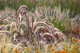 ornamental grasses can weather the winter local news