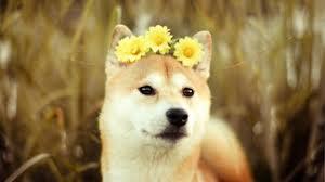 Doge Meme Original - shiba inu wallpaper 1920x1080 59048