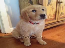 golden retriever puppies white golden retriever puppies