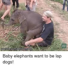 Elephant Meme - youtubecomonodupreez huff post baby elephants want to be lap dogs