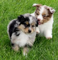 playing with australian shepherd 71 most cute australian shepherd puppies pictures and photos