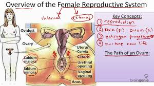Anatomy Of The Female Reproductive System Pictures 8 10 2 The Female Reproductive System Youtube