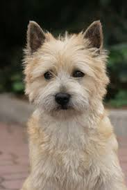 brindle cairn haircut best 25 cairn terrier puppies ideas on pinterest cairn terrier