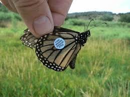 monarchs in the desert monarch butterflies disease