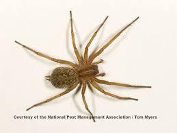 agressive house spider hobo spider