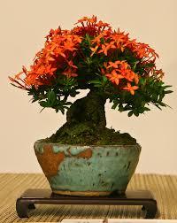 266 best bonsais images on pinterest bonsai trees bonsai plants