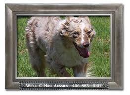 australian shepherd eyebrows coats and coat colors of the mini aussie well c mini aussies