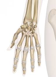 Anatomy Of The Human Skeleton Hand And Wrist Anatomy Pictures And Information
