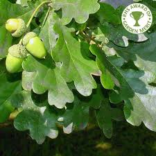 quercus robur buy oak trees common oak