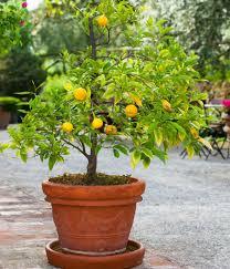 navel orange trees indoor orange citrus trees for sale fast