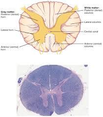 Human Vertebral Column Anatomy Labeled Spinal Column Human Vertebral Column Anatomical Chart