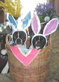 my easter bunny 105 best bt 3 easter images on boston terriers
