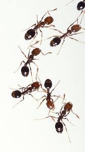 fire ant wikipedia