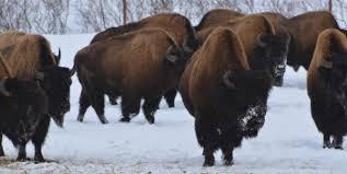 Bison Connect Department Of Interior Bringing Back Bison U2013brings Back Biodiversity U2013 National Geographic