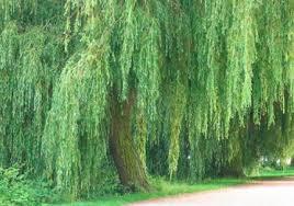 fast growing trees howstuffworks
