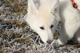 american eskimo dog or japanese spitz free images puppy pet arctic fox face vertebrate dog breed