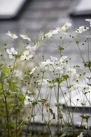 best 25 japanese anemone ideas on pinterest pretty flowers