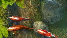 wallpaper ikan bergerak untuk pc download wallpaper bergerak untuk pc gratis helm shore