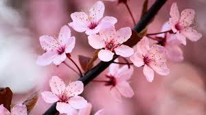 cherry blossom pics zen garden relax music stunning cherry blossom sakura 2