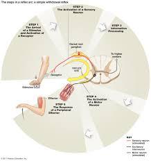 Relex Arc Peripheral Nervous System