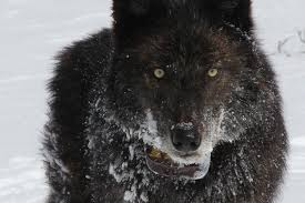 belgian sheepdog idaho latest gray wolves delisted in wyoming u2014 high country news