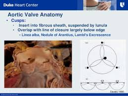 Anatomy Of Heart Valve Pathological Considerations Of Aortic And Mitral Valve Interventions