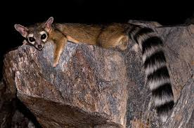 Oklahoma wild animals images Wild about texas ringtails are nocturnal elusive creatures jpg