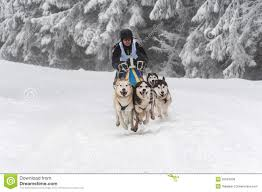 running husky dogs at a dog sled race editorial stock image