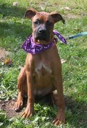 8 month old boxer dog weight mia is an adoptable boxer dog in jewell ia mia is a 1 year old