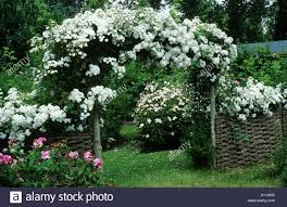 white flowers climbing rose arch stock photos u0026 white flowers