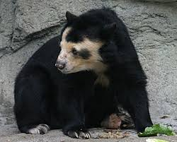 Hairless Bear Meme - germany s bald bears fur disease afflicts dolores and baffles