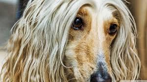 afghan dog hd desktop wallpaper widescreen high definition