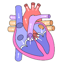 file diagram of the human heart clean svg wikimedia commons