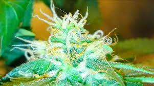 amnesia haze by royal queen seeds seedfinder strain info