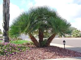 mediterranean fan palm tree palms waterwise socal
