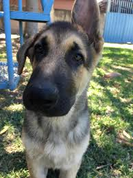 belgian shepherd hair loss belgian malinois 4month old ears went down rough play page 2