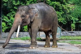 sumatran elephant wikipedia