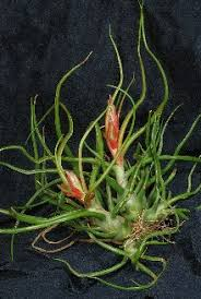 plant of the month club tillandsia bulbosa air plant cactus club