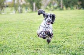 imagenes de english cocker spaniel english cocker spaniel personality history and pictures pawculture