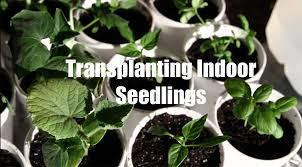 Indoor Vegetable Garden Kit by 10 Garden Series 6 How To Transplant Seedlings When Starting