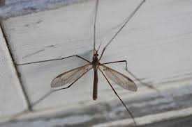 crane fly or leatherjacket extermination pest control of bed