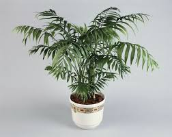 Plants That Need Low Light by Palor Palm Plant Indoor Care