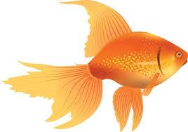 goldfish icon design yellow closeup ornament free vector in